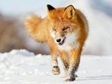 عکس روباه در زمستان