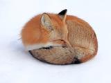 زیباترین عکس روباه