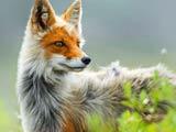 والپیپر منتخب از روباه زیبا