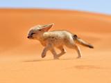 بچه روباه صحرایی