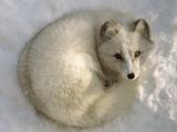 روباه سفید