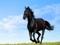 اسب اصیل انگلیسی مشکی