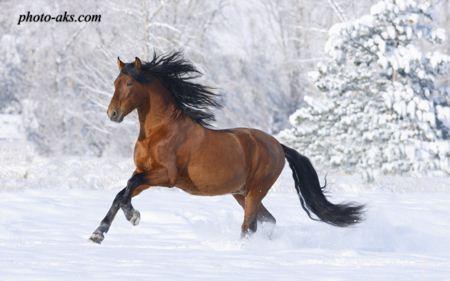 اسب کهر ترکمن red horse in snow