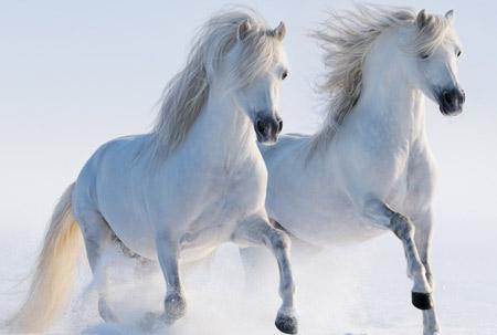 عکس اسبهای سفید در برف white hores snow