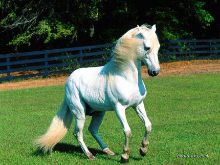 اسب سفید در چمنزار white horse