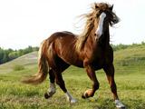 اسب قهوه ای  اصیل در دشت زیبا