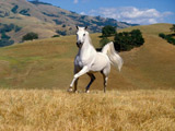 عکس اسب سفید زیبا در دشت