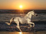 اسب سفید در غروب ساحل
