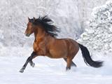 اسب کهر ترکمن
