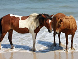 عکس اسب قهوه ای در ساحل
