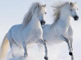 عکس اسبهای سفید در برف