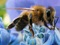 پرواز زنبور عسل