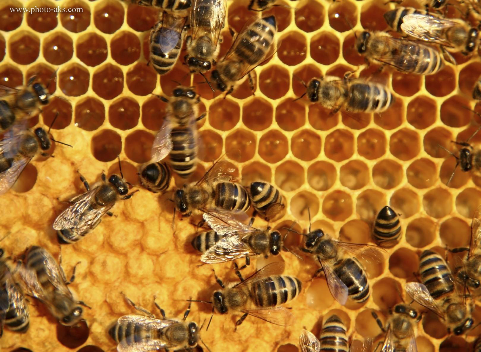 http://pic.photo-aks.com/photo/animals/insect/bee/large/bee_on_honey.jpg