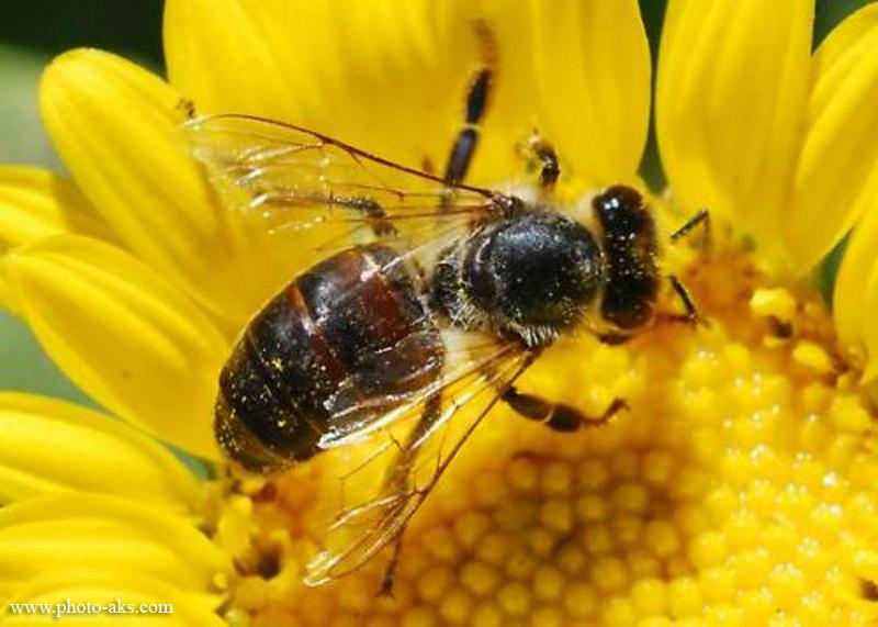 نتیجه تصویری برای زنبور عسل