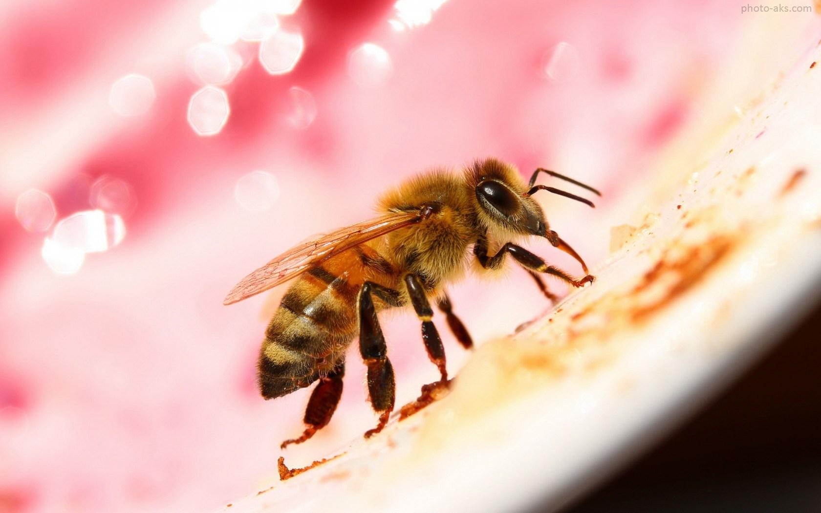 عکس حشره زنبور عسل bee macro picture