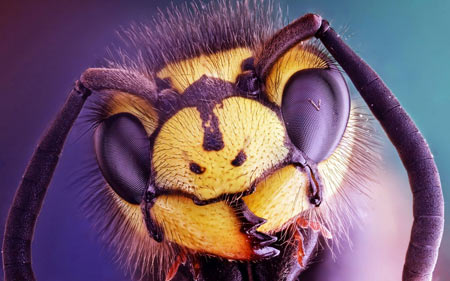 عکس ماکرو سر زنبور bee insect close up