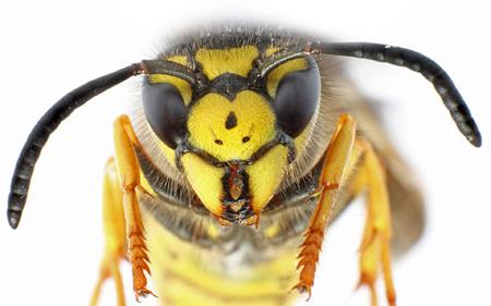 عکس نمای نزدیک زنبور زرد close up bee
