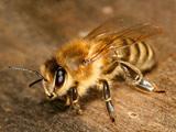 عکس منتخب زنبور عسل بزرگ