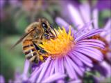 زنبور عسل روی گل بنفش
