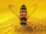 عکس زنبور عسل روی گل