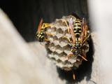 عکس کندو زنبور زرد