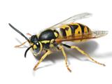 عکس آناتومی زنبور زرد