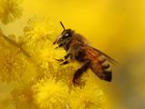 عکس زنبور عسل روی گل زرد