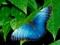 پروانه آبی زیبا روی برگ