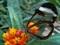 پروانه شیشه ای