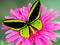 پروانه سبز فسفری روی گل