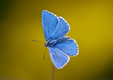 عکس پروانه آبی زیبا blue butterfly open wings