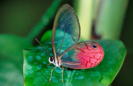 عکس پروانه با بال شیشه ای glasswing butterfly
