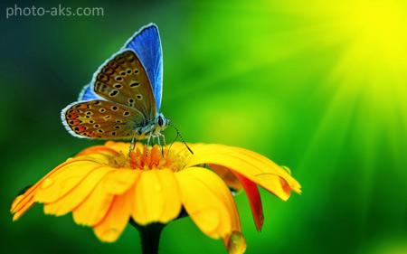عکس پروانه روی گل زرد butterfly on yellow flower