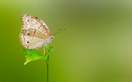 والپیپر های زیبای پروانه ها butterfly green wallpaper