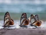 عکس سه پروانه زیبا
