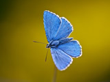 عکس پروانه آبی زیبا