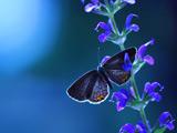 والپیپر پروانه روی گل آبی زیبا