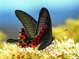 عکس پروانه سیاه روی گل سفید
