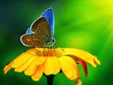 عکس پروانه روی گل زرد