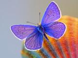 پروانه ارغوانی بسیار زیبا