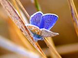 عکس پروانه آبی فیروزه