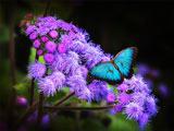 پوستر شاپرک آبی روی گل ارغوانی
