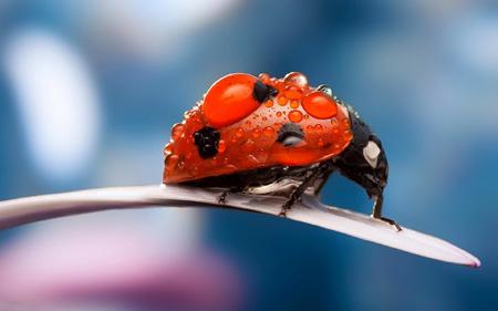 پوستر زیبا از کفش دوزک ladybug petal dew drops