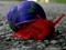 عکس حلزون قرمز رنگ