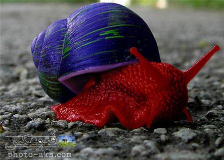 عکس حلزون قرمز رنگ red snail wallpaper