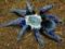 عکس رتیل آبی رنگ جالب