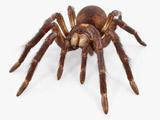بزرگترین عنکبوت جهان