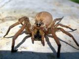 عنکبوت بزرگ و ترسناک