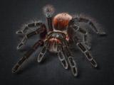 عکس عنکبوت رتیل ترسناک