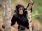 عکس بچه شامپانزه بانمک